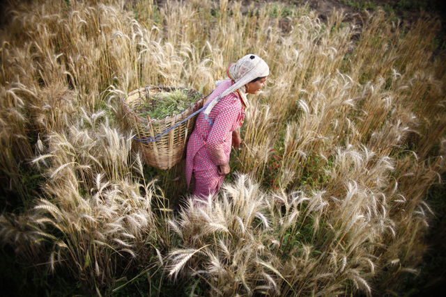 http://nepalitimes.com/assets/uploads/gallery/468ae-wheat-field-2--1-.jpg