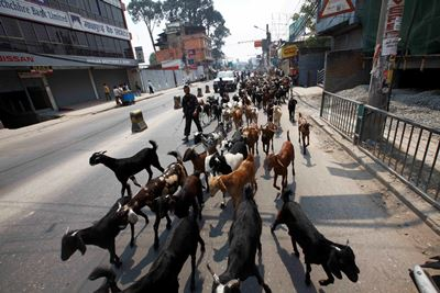 http://nepalitimes.com/assets/uploads/gallery/d0c09-Goat-vendor-on-there-way-at-thapathali.JPG