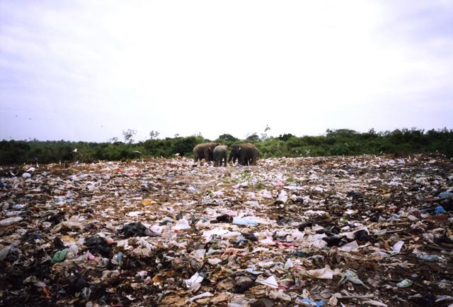 Elephants forage at a garbage dump Manampitiya 2006 Pic: Stephen Champion