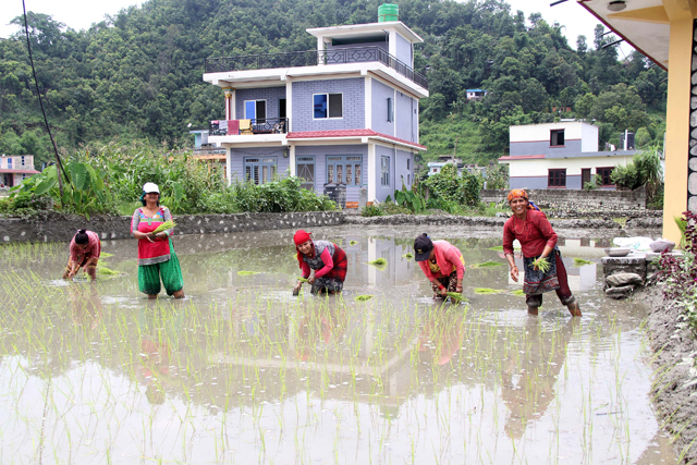 WHAT IS LEFT: Samjhana Regmi and her neighbours planting rice last week in Lekhnath, as Pokhara's rapid urbanisation engulfs what used to be fertile paddy fields with rich rice diversity. Photo: Yuva