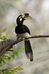 Oriental Pied Hornbill in Dharan. Photo: Yatra Rai