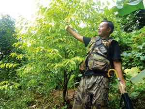 Cash grows on trees, himalkhabar com - Nepali Times
