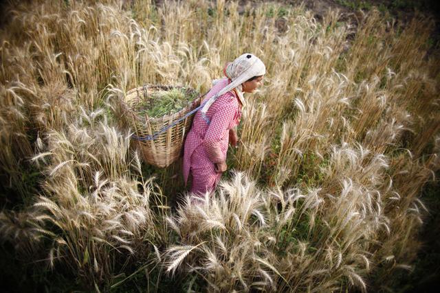 https://archive.nepalitimes.com/assets/uploads/gallery/468ae-wheat-field-2--1-.jpg